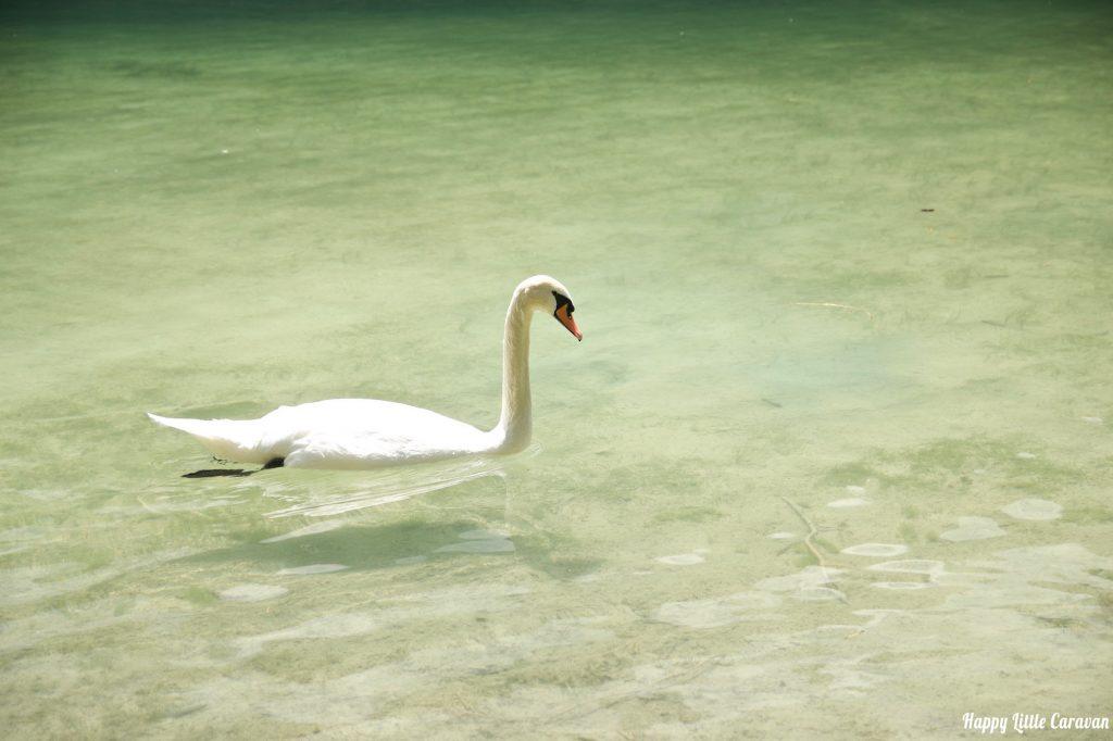 Lago di Dobbiaco - Cigno