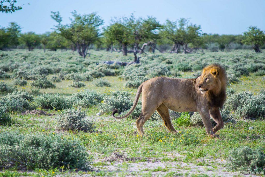 Etosha vecchio leone