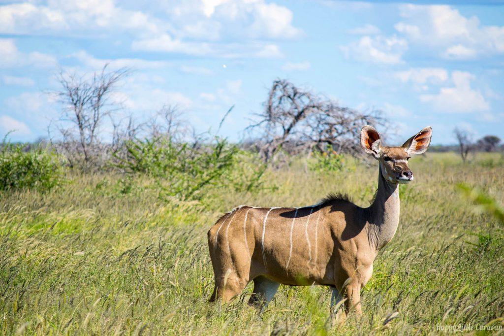 Femmina di Kudu Etosha