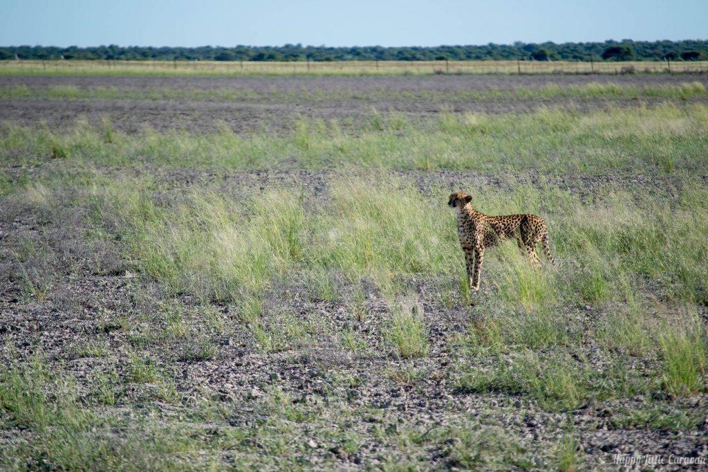 ghepardo etosha
