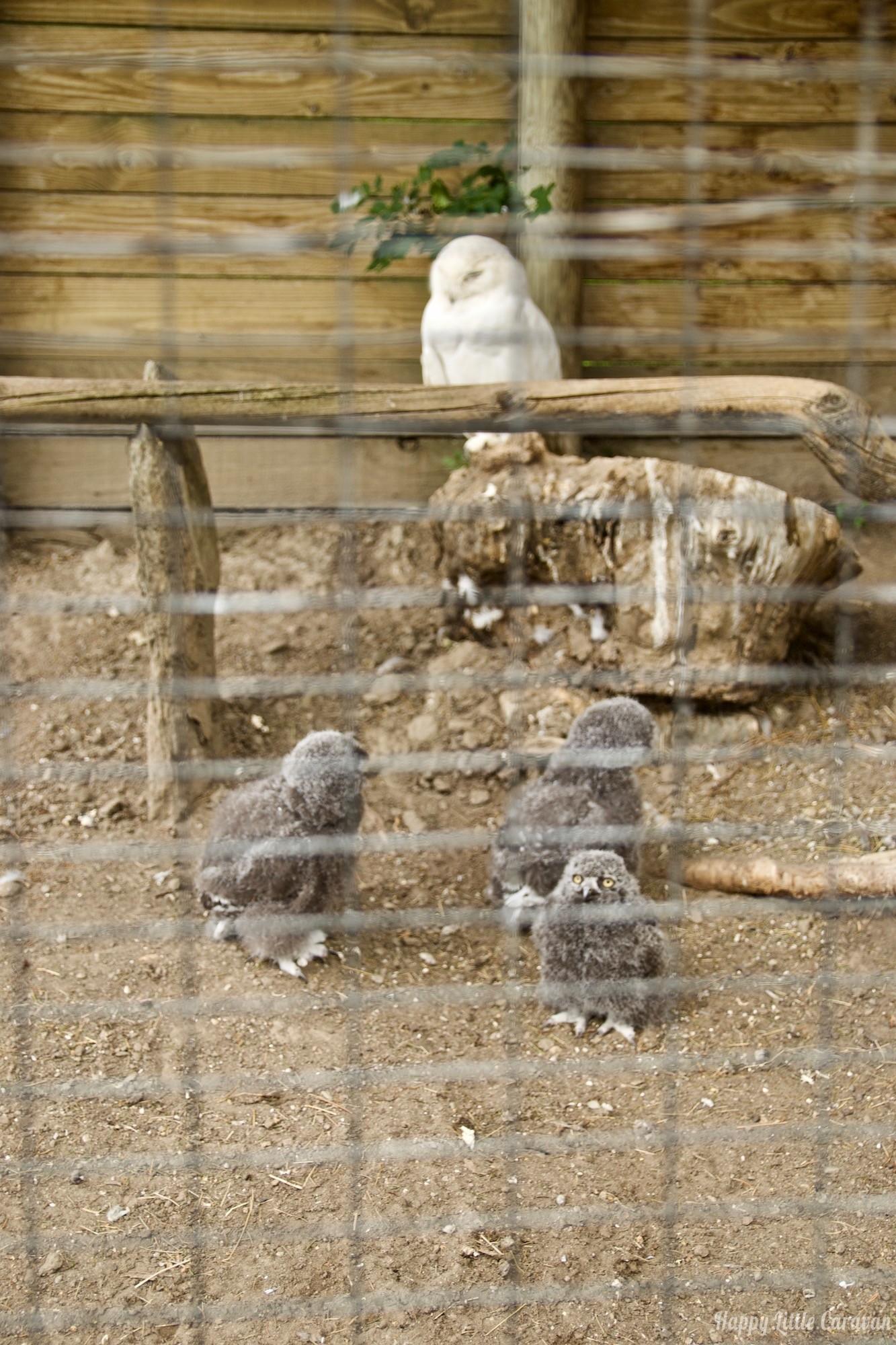 Parc Animalier d'Introd - zoo Valle d'Aosta - Civetta delle nevi