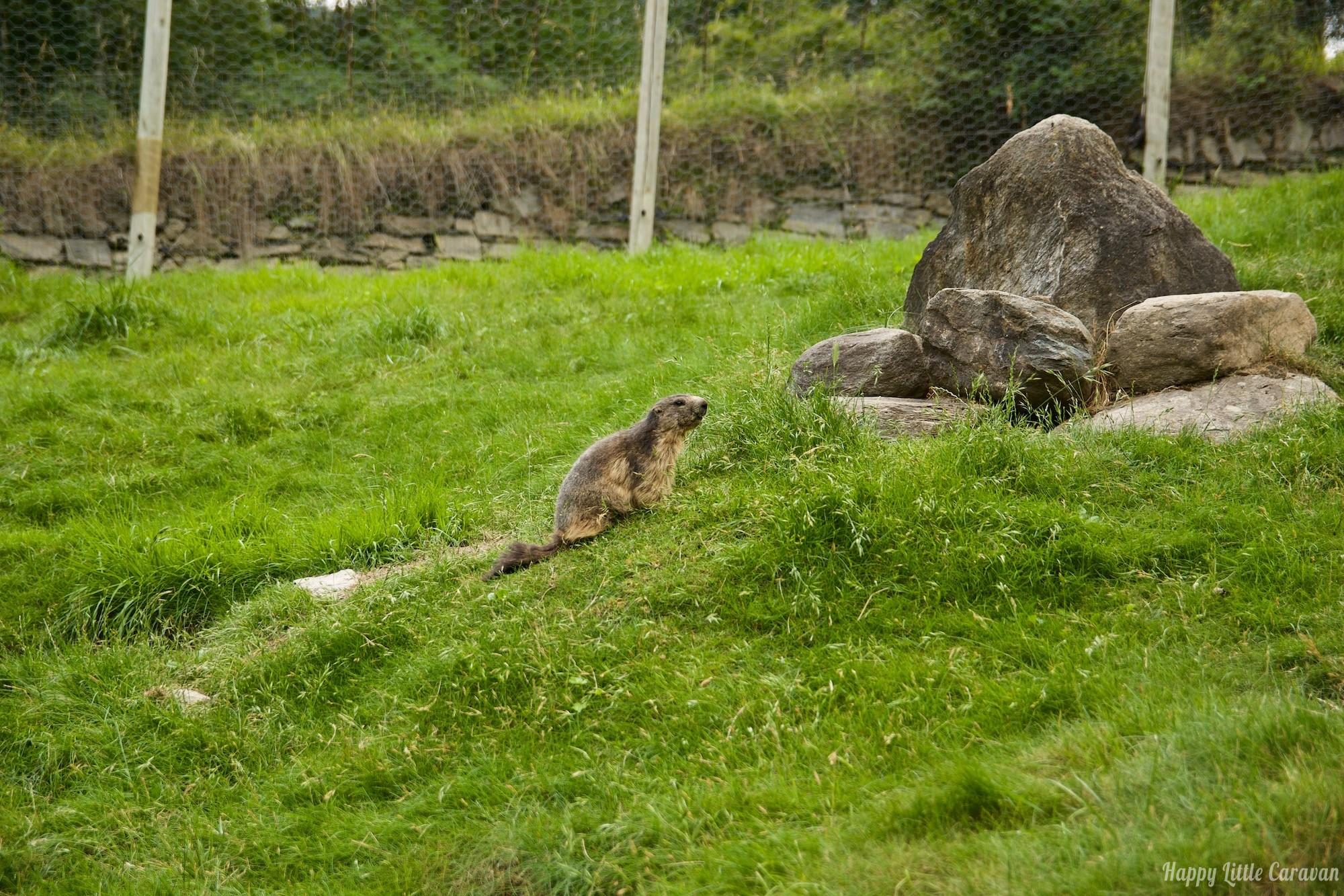 Parc Animalier d'Introd - zoo Valle d'Aosta - Marmotta